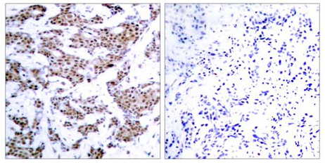 Immunohistochemistry (Formalin/PFA-fixed paraffin-embedded sections) - Anti-MEF2A (phospho T312) antibody (ab30644)