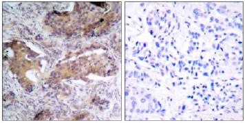 Immunohistochemistry (Paraffin-embedded sections) - PTEN (phospho S370) antibody (ab30654)