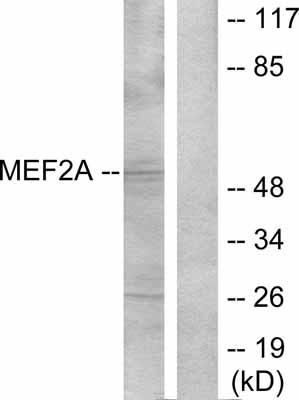 Western blot - MEF2A antibody (ab30668)