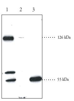 Western blot - SREBP2 antibody (ab30682)