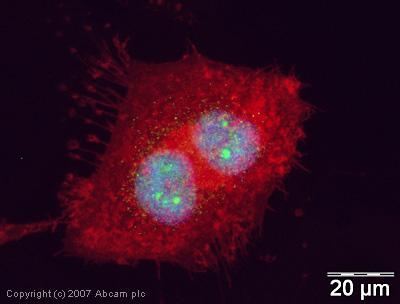 Immunocytochemistry/ Immunofluorescence - Mre11 antibody (ab30725)