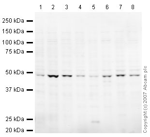 Western blot - TSG101 antibody (ab30871)