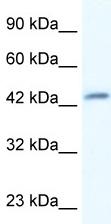 Western blot - DMRTB1 antibody (ab30910)