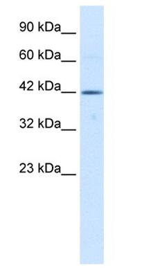 Western blot - Tbx6 antibody (ab30946)
