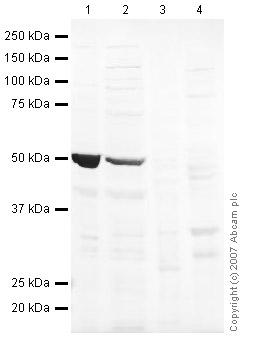 Western blot - LMX1A antibody (ab31006)