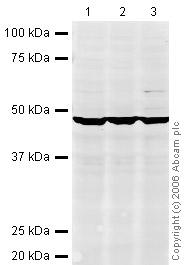 Western blot - eIF4A1 antibody (ab31217)