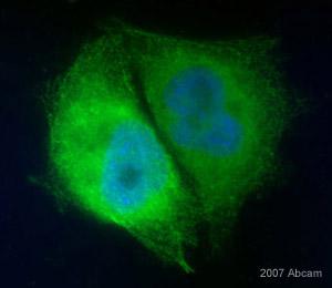 Immunocytochemistry - eIF4A2 antibody (ab31218)
