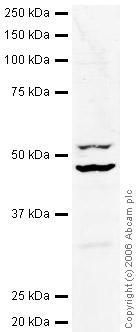 Western blot - eIF4A2 antibody (ab31218)