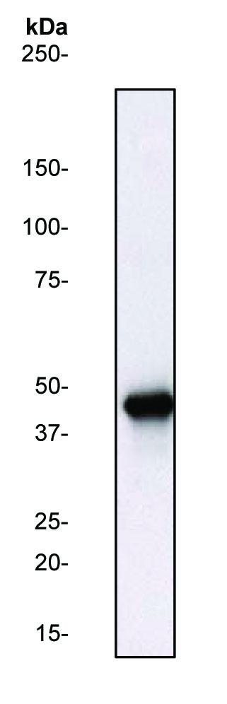 Western blot - ERK1 antibody (ab31284)
