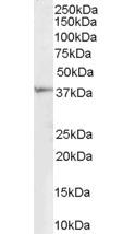 Western blot - Renalase antibody (ab31291)