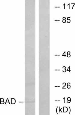 Western blot - Bad antibody (ab31310)