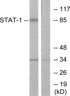 Western blot - STAT1 antibody (ab31369)