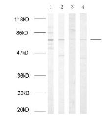 Western blot - Anti-NF-kB p65 antibody (ab31408)
