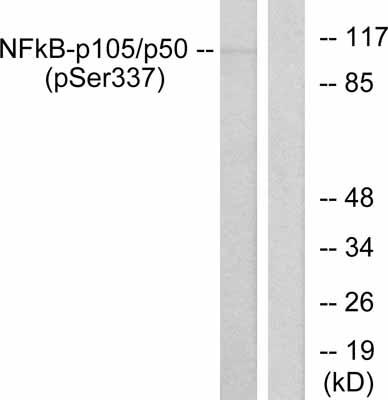 Western blot - NFkB p105 / p50 antibody (ab31410)