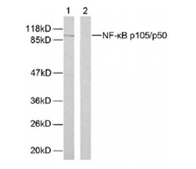 Western blot - NFkB p105/p50 antibody (ab31411)
