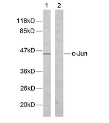 Western blot - c-Jun antibody (ab31417)