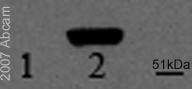 Western blot - HSV1+ HSV2 ICP27 antibody [8.F.137B] (ab31631)