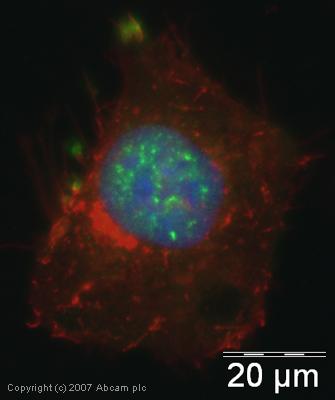 Immunocytochemistry/ Immunofluorescence - SAP18 antibody (ab31748)