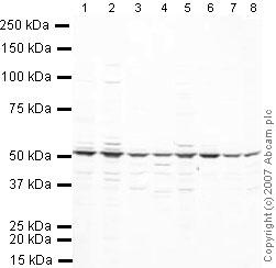 Western blot - eRF1 antibody (ab31799)