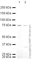 Western blot - Menin antibody (ab31902)