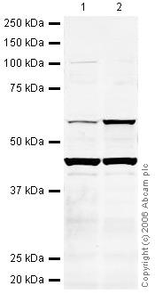 Western blot - Neuroglycan C antibody (ab31946)