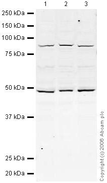 Western blot - DDX1 antibody (ab31963)