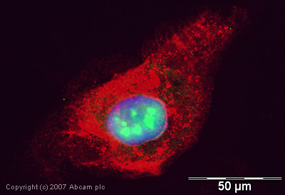 Immunocytochemistry/ Immunofluorescence - Anti-Histone H1x antibody - ChIP Grade (ab31972)
