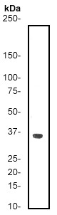Western blot - Cdc2  antibody [E53] (ab32030)