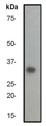 Western blot - p27 KIP 1 antibody [Y236] (ab32034)