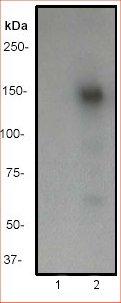 Western blot - CD22 (phospho Y807) antibody [Y505] (ab32040)