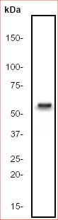 Western blot - Cdc25C antibody [E303] (ab32050)
