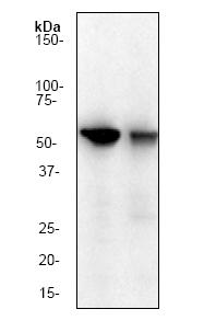 Western blot - Cyclin B1 antibody [Y106] (ab32053)