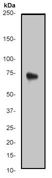 Western blot - ATF2 antibody [E242] (ab32061)