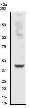 Western blot - ERK1 antibody [Y71] (ab32066)