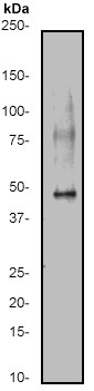 Western blot - pro Caspase 9 antibody [E84] (ab32068)