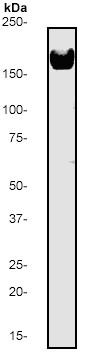 Western blot - EGFR antibody [E235] (ab32077)