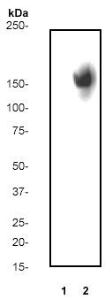 Western blot - EGFR (phospho Y1086) antibody [Y39] (ab32086)