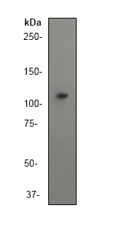 Western blot - PI 3 Kinase catalytic subunit gamma antibody [Y388] (ab32089)