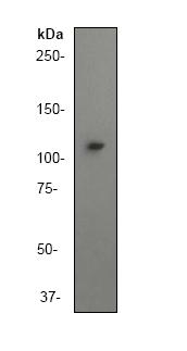 Western blot - PI 3 Kinase catalytic subunit gamma antibody [Y388] (ab32089)