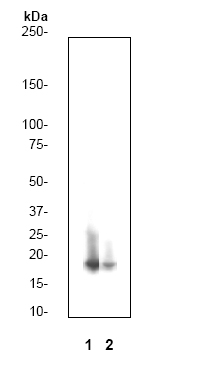 Western blot - Anti-Histone H3 (phospho S10 + T11) antibody [E173] (ab32107)