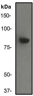 Western blot - IKK beta antibody [Y466] (ab32135)