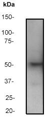 Western blot - PTEN antibody [Y184] (ab32199)