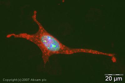 Immunocytochemistry/ Immunofluorescence - PIAS1 antibody (ab32219)