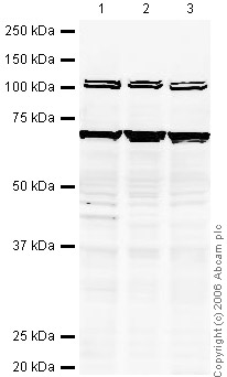 Western blot - ABCE1 antibody (ab32270)