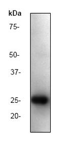 Western blot - HIV1 p24 antibody [P131] (ab32352)