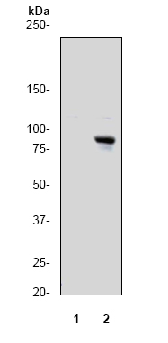 Western blot - RSK1 p90 (phospho T359 + S363) antibody [E238] (ab32413)