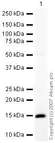 Western blot - BLBP antibody (ab32423)