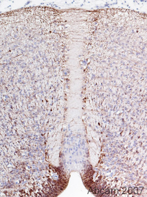 Immunohistochemistry (Formalin/PFA-fixed paraffin-embedded sections) - BLBP antibody - Neuronal Marker (ab32423)