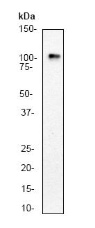 Western blot - Glutamate Receptor 1 (AMPA subtype) antibody [E308] (ab32436)