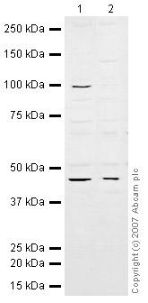 Western blot - eIF4A3 antibody (ab32485)